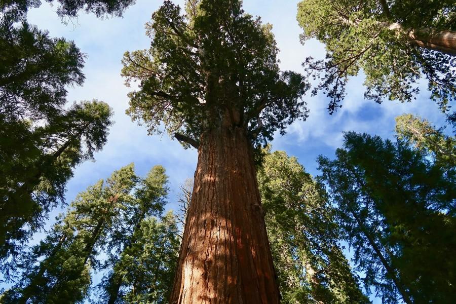 Малопосещаемая роща секвой в Йосемити: Tuolumne Grove